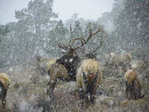 """Majestic Bull Elk"""