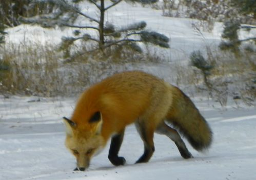 Estes Park Fox