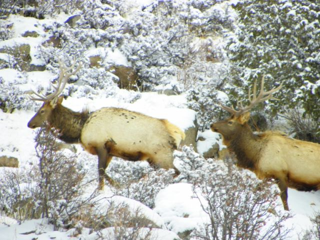 Two more bull elk in Rocky Mountain National Park