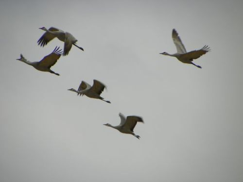 Sandhill Crains flying near Kearney, Nebraska