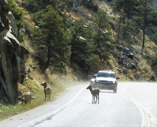 Big horn sheep stopping traffic in the Big Thompson Canyon.