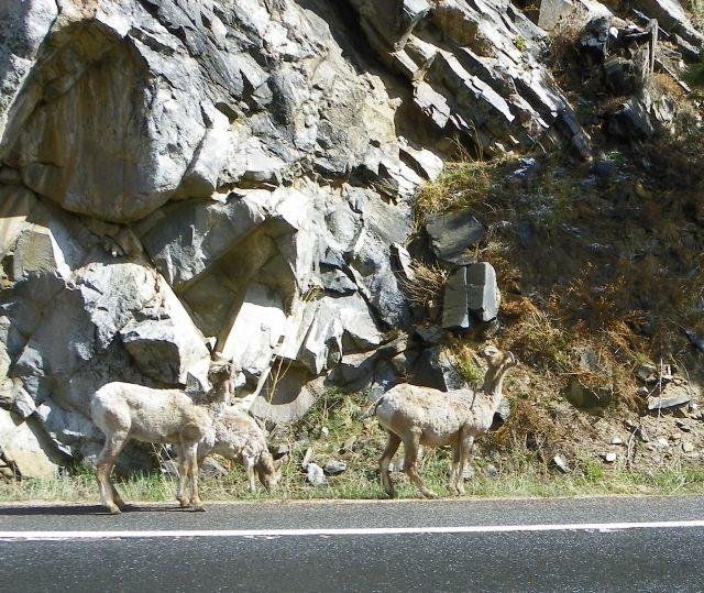 Big Horn Sheep in Big Thompson Canyon