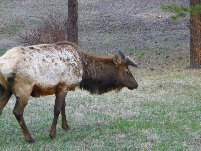 Estes Park's Shaggy Elk