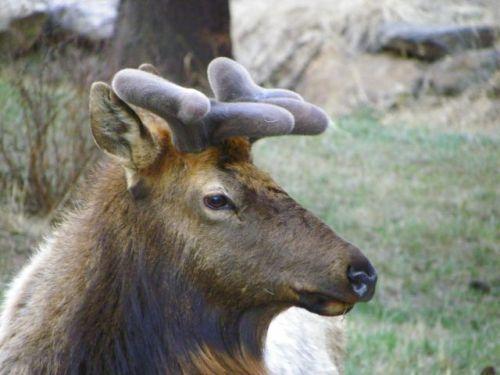 Bull elk in Estes Park Colorado
