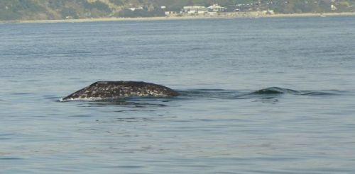 San Diego Grey Whale