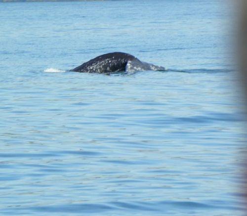 San Diego Grey Whale Fluke